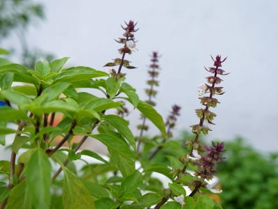 Basil and its flowers
