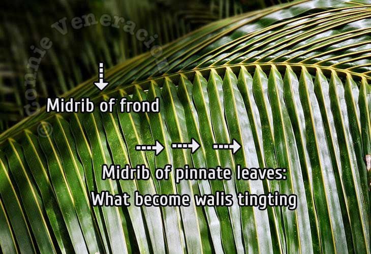 Parts of a coconut leaf
