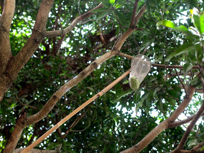 DIY fruit picker to reach mangoes hanging from high branches