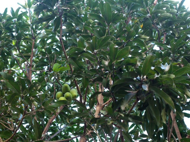 Cluster of mangoes hanging from tree