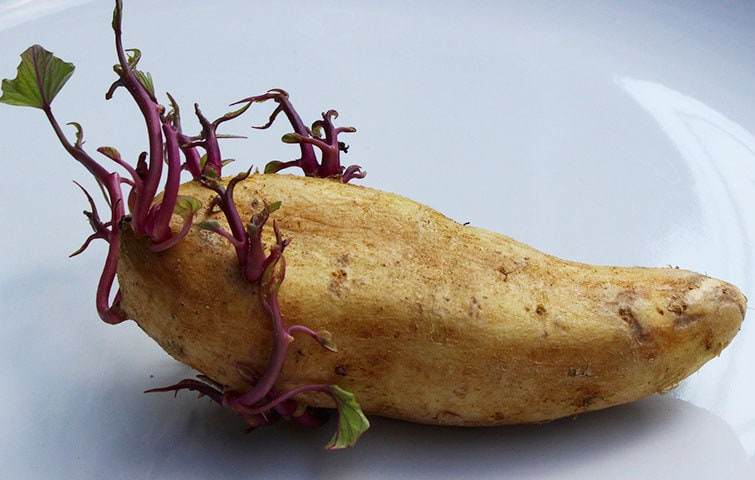 Potato growing roots after harvest